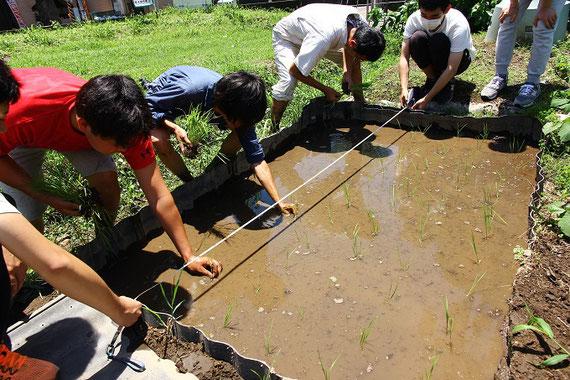 栽培実習での田植えの様子