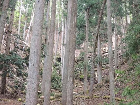 立木の奥の傾斜では大量の倒木被害