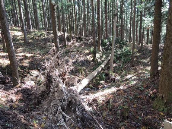 杉の倒木もちらほらと