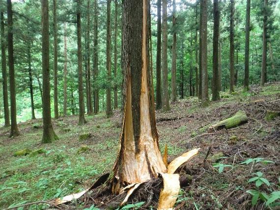 熊に剥かれたばかりの杉の木