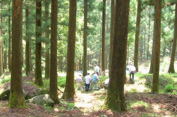 杉の大径木(共有林)