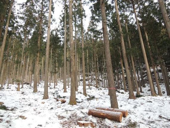 西山山荘より高いところは、雪折れ被害は少ないようです。