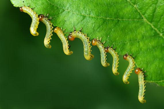 Blattwespen Raupen