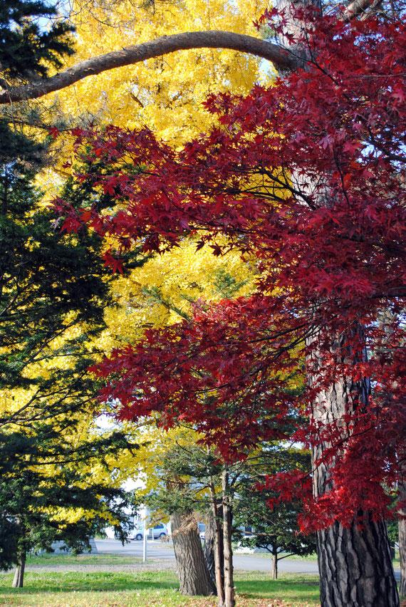 紅葉と松と銀杏(いちょう)