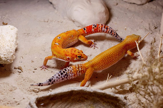 Electric Tangerine Leopardgecko