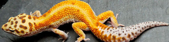 Red Stripe Leopardgecko