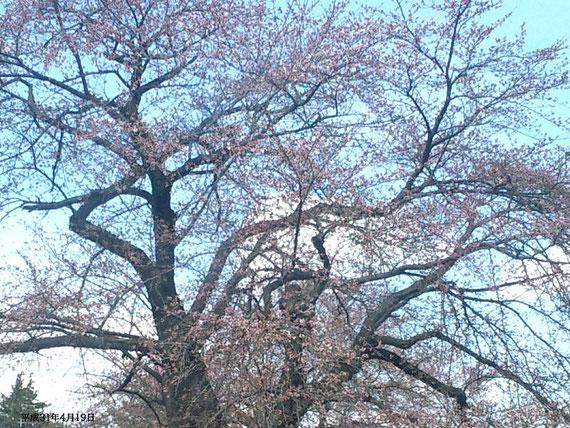 平成31年4月19日のソメイヨシノ