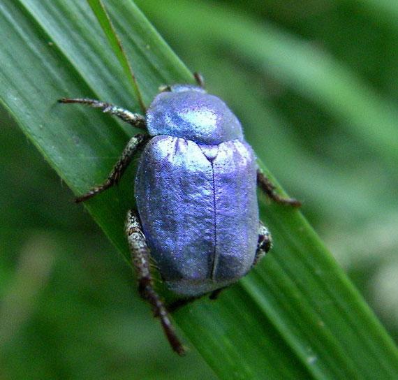 Hoplie bleue mâle.