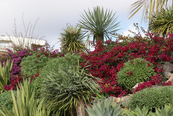 Bouganvillablüte im Januar