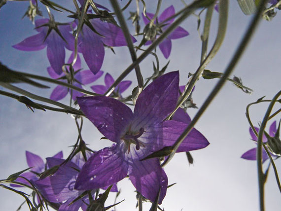 Glockenblume vom Boden aus fotografiert auf Wiese in Sonnenbühl
