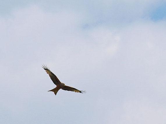ein Rotmilan am Himmel über Sonnenbühl - Schwäbische Alb