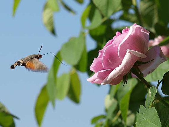taubenschwänzchen im anflug auf eine rosenblüte