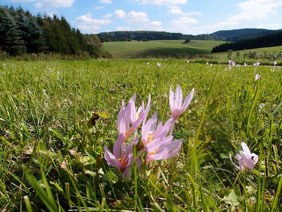 rosaviolette Herbstzeitlosen auf grüner Herbstwiese in Sonnenbühl Schwäbische Alb