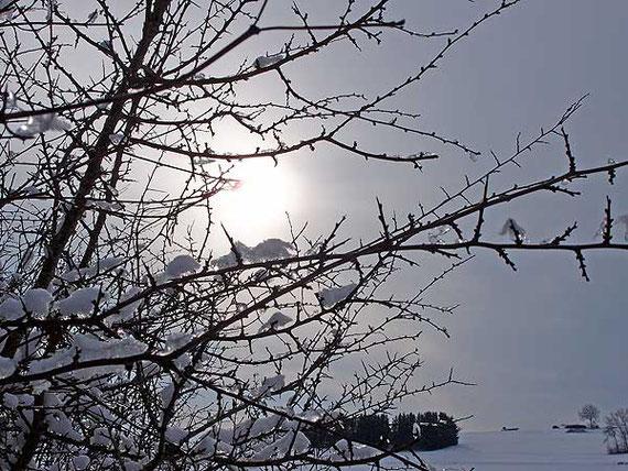 eis-und schneebedeckter schlehdorn in sonnenbühl im gegenlicht
