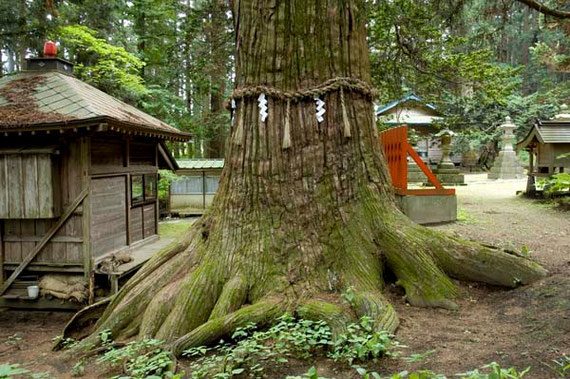 八戸市最大の七崎神社の「神の杉」