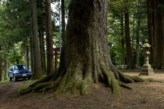 青森県最大の幹周6.10メートルのモミ(階上町)
