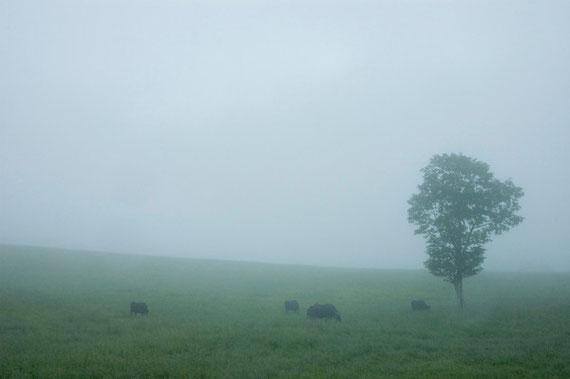 八甲田山(田代)で草を食む牛