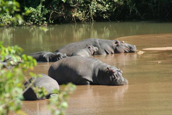 izimvubu emanzini...ippopotami al bagno