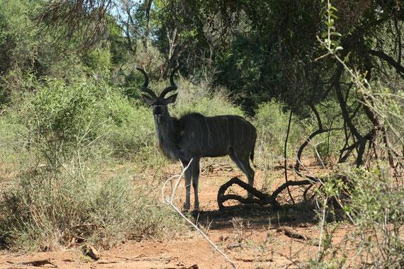 kudu maschio (un giro e mezzo di corna)