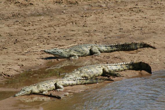 Ingwenya, il coccodrillo del Nilo