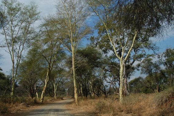 FOTO 6: Fever tree(Acacia xanthophloea), in isiZulu é chiamata Ilalamanzini (dove dorme l'acqua)