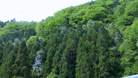 山藤がさり気なく美しい 好きな景色です