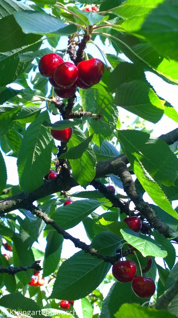 Rote glänzende Kirschen im Baum, Blätter, Sonnenlicht