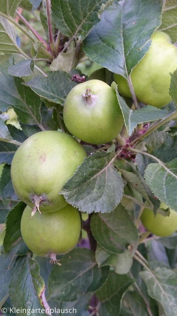 Äpfel am Baum, noch grün und unreif