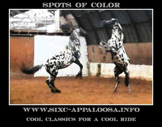 DREA EAGLESTUD SUNDY | Milton & Mary Decker | Deckers Red Eagle Appaloosa | Appaloosa Old-Line | Appaloosa Foundation | Appaloosa Sport Horse | Appaloosa Classic | Foundaloo(sa) | By SIX C Appaloosa