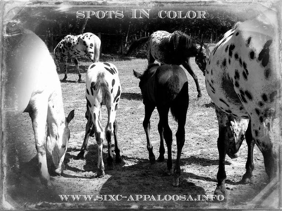 Appaloosa Old-Line | Appaloosa Old-Foundation | Appaloosa Sport Horse | Appaloosa Classic | Foundaloo(sa) | By SIX C Appaloosa