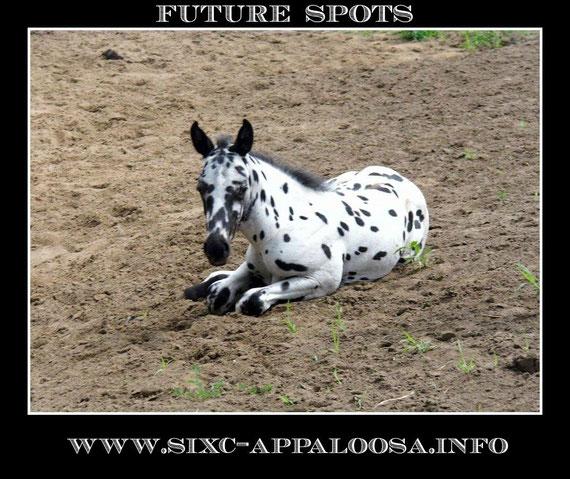 Appaloosa Old-Line | Appaloosa Old-Foundation | Appaloosa Sport Horse | Appaloosa Classic | By SIX C Appaloosa