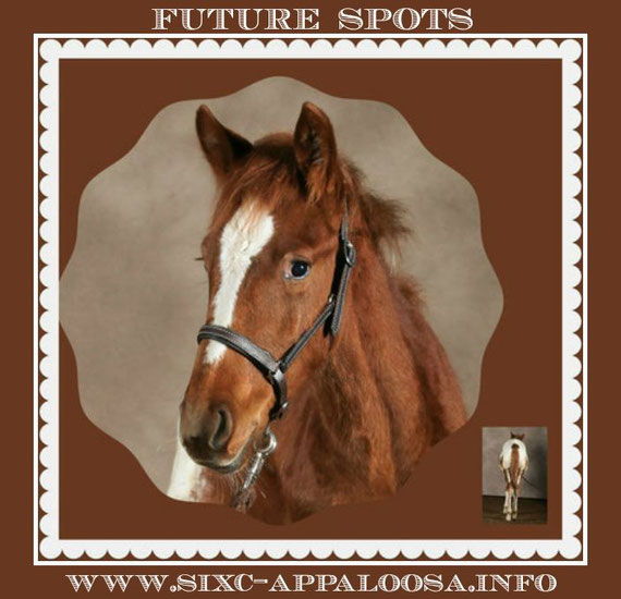 Appaloosa Old-Line   Appaloosa Old-Foundation   Appaloosa Sport Horse   By SIX C Appaloosa