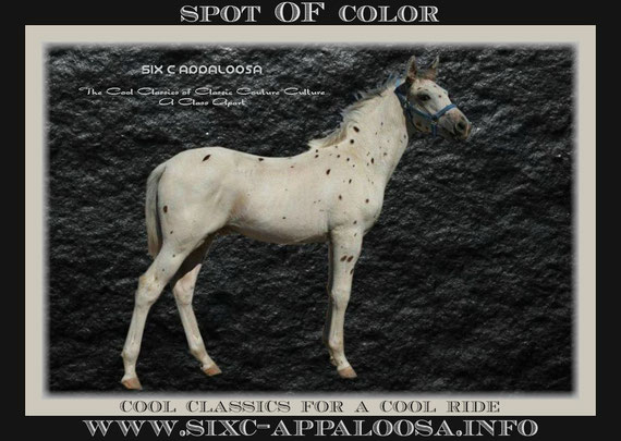 Appaloosa Old-Line | Appaloosa Foundation | Appaloosa Sport Horse | Appaloosa Classic | Foundaloo(sa) | By SIX C Appaloosa