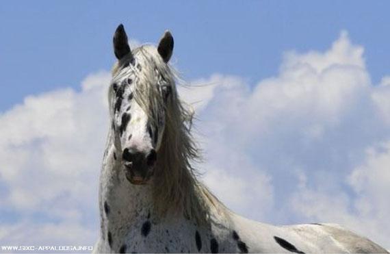 Toby Cherokee Chief | Appaloosa Old-Line Zuchthengst | Appaloosa Old-Foundation Zuchthengst | Appaloosa Sport Horse Zuchthengst | By SIX C Appaloosa