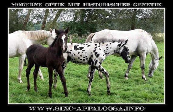 Appaloosa Old-Line | Appaloosa Old-Foundation | Appaloosa Sport Horse | By SIX C Appaloosa