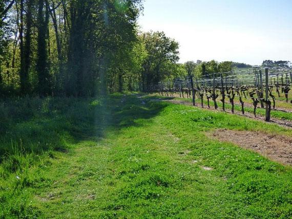 A la sortie de Pleine Selve, je trouve un petit bois en bord de vigne: je coucherai là ce soir.