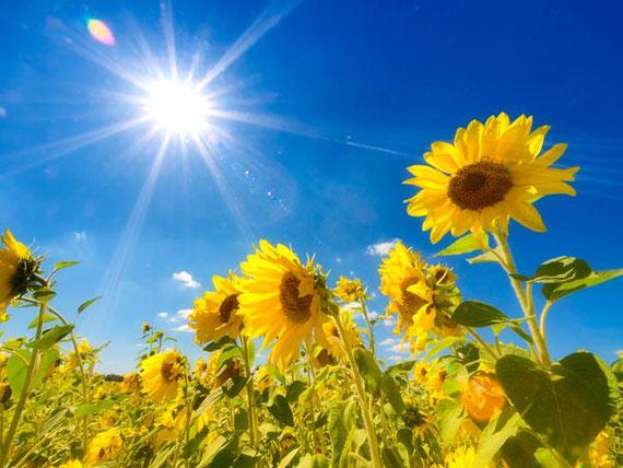 夏の日差しを浴びるひまわりの花