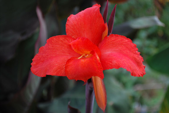 Canna Tropical RED