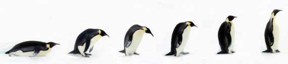 Line of penguins, from lying down to standing up