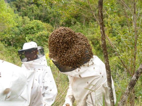 Imker mit Bienenschwarm auf dem Kopf (das kommt eher selten vor)