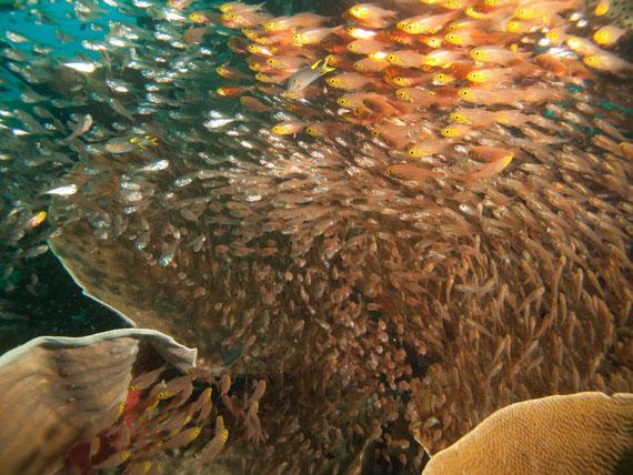 Ballet de poissons de verre à Raja Ampat, en Indonésie, en mars 2013.