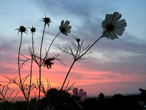Cosmea bei Sonnenaufgang