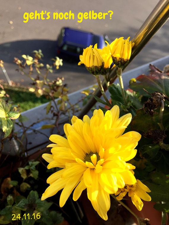 ... diese Blumen haben den gleichen Frost abbekommen wie die Verwelkten (Resilienz?)
