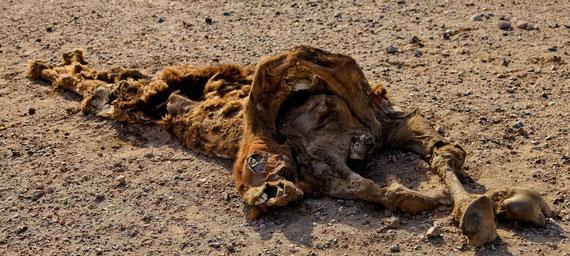 Verdurstet? Kamelkadaver in der Dasht e Kavir.