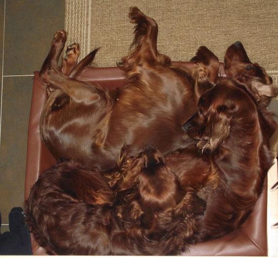 Wie viele Setter passen in einen Hundekorb?