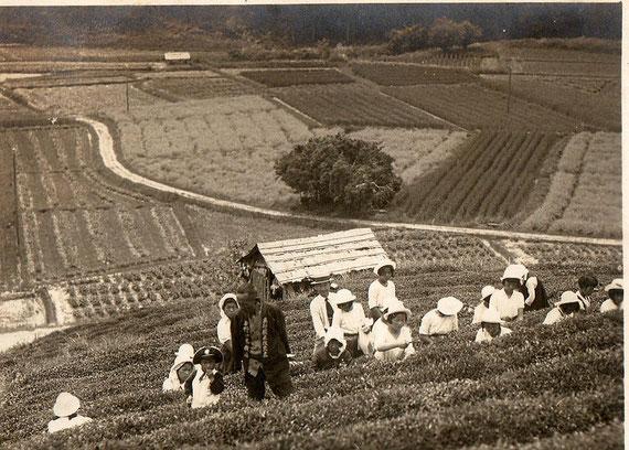 当時の茶畑