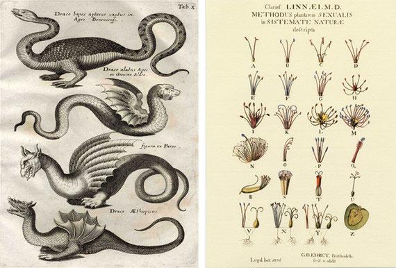 Gravure d'Aldrovandi et nomenclature de Linné