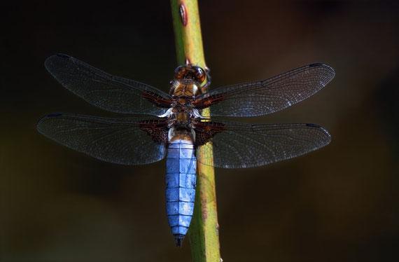 Plattbauch-Libelle Männlich