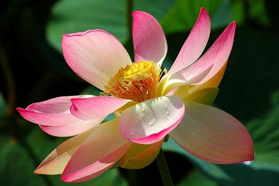 Die Lotusblume einmalig in unserer Region