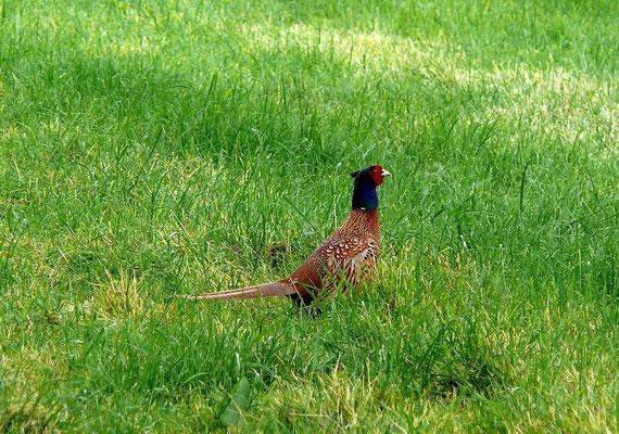 Fasanen sind in Mitteleuropa eigentlich keine heimischen Vögel. Sie stammen aus Asien und wurden schon vor vielen Jahrhunderten als Jagdwild ausgesetzt. Auch heute noch werden die meisten Fasanen künstlich erbrütet und dann für die Jagd freigelassen.